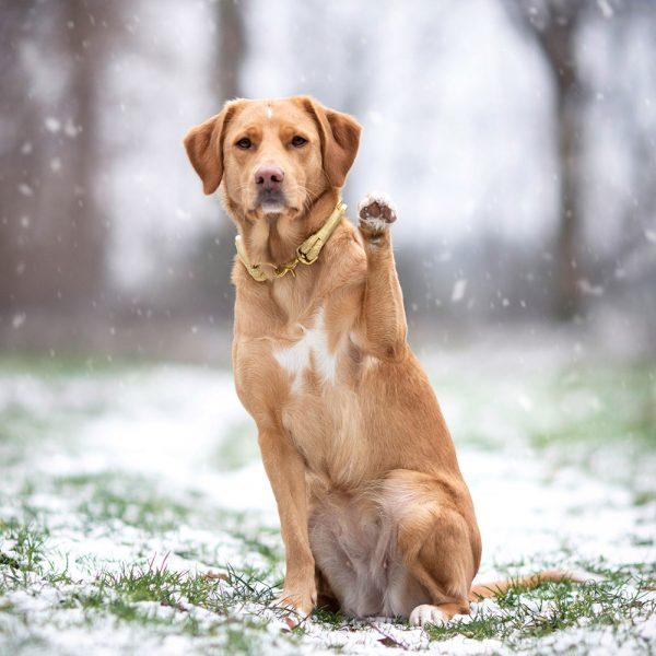 Goldenes Luxus Halsband Labrador