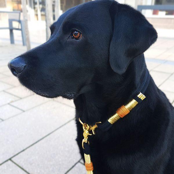 Schwarzer Labrador mit Gold Halsband Hundeleine